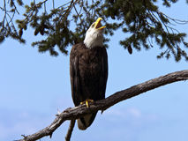 Bald Eagle Call. A proud wild Bald Eagle giving a loud shrieking call with beak wide open Royalty Free Stock Photos