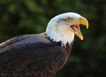 Bald Eagle Calling Stock Image