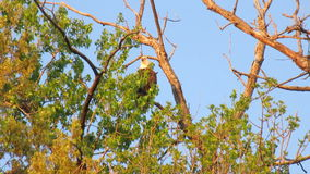 A Bald Eagle Calling. An adult bald eagle calling from the top of a tree stock footage
