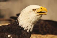 Bald Eagle Calling Stock Photography