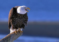 Bald Eagle calling Stock Photo