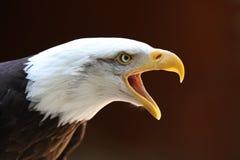 Bald Eagle calling Stock Photo