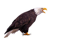 Bald Eagle. Calling, profile view on white background Stock Image