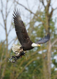 Bald Eagle. A Bald Eagle carrying two newborn Great Blue Herons Royalty Free Stock Photography