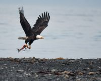 A Bald Eagle Catches a Fish in South Central Alaska. A Bald Eagle catches a fish in the Kenai Fjords of southern Alaska stock image