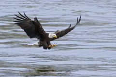 Bald Eagle Catching Fish. A Bald Eagle aproaches the water with talons open to catch fish Royalty Free Stock Photo