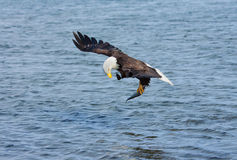 Bald Eagle catching fish, Alaska, USA Stock Images