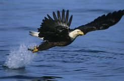 Bald Eagle catching fish in river Royalty Free Stock Photography