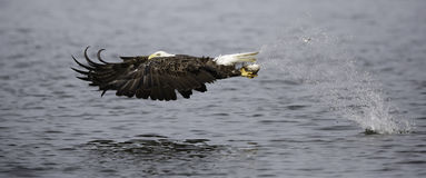 Bald eagle catching fish stock photos