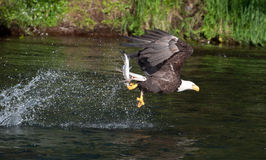 Bald eagle catching salmon Royalty Free Stock Image