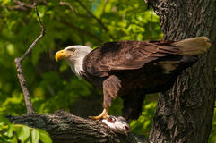Bald Eagle with Catfish in Tree Stock Photography
