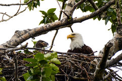 Bald Eagle and Chick Royalty Free Stock Photo