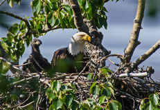 Bald Eagle and Chick Stock Image