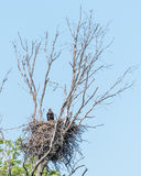 Bald Eagle Chick. Perched in Nest Royalty Free Stock Image