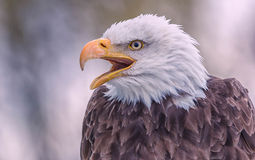 Bald Eagle. Close up of an angry bald eagle Stock Photo