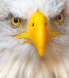 Bald Eagle. Close up of an angry bald eagle Royalty Free Stock Photo
