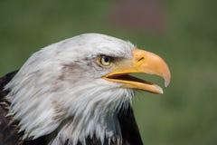 Bald Eagle Close-Up. Bald Eagle & x28;haliaeetus leucocephalus& x29; is a. Bird of prey found in North America stock image
