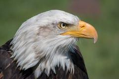 Bald Eagle Close-Up. Bald Eagle & x28;haliaeetus leucocephalus& x29; is a. Bird of prey found in North America royalty free stock photo