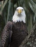 Bald Eagle Close Up Stock Photos