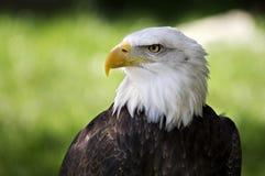 Bald eagle. Close-up of the head of an bald eagle Stock Image