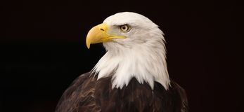Bald Eagle. A close up of the head of a bald eagle, isolated on a black background Stock Images
