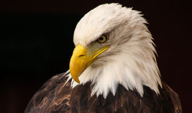 Bald Eagle. A close up of the head of a bald eagle, isolated on a black background Royalty Free Stock Photo