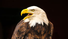Bald Eagle. A close up of a bald eagle, isolated on a black background Stock Images