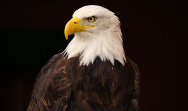 Bald Eagle. A close up of a bald eagle, isolated on a black background Stock Photography