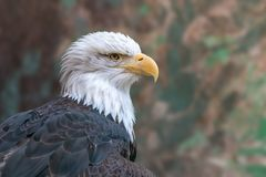 Bald eagle close-up portrait on blurred camouflage background stock photography