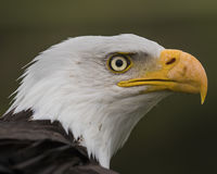 Bald Eagle close up in profile Royalty Free Stock Photography