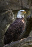 Bald Eagle close up. Bald eagle in Rhode Island Stock Images