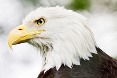 Bald eagle closeup Royalty Free Stock Photo