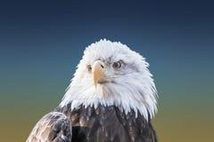 Bald Eagle Closeup Stock Photography