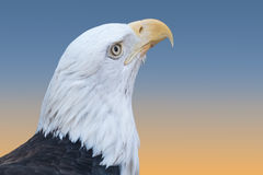 Bald Eagle Closeup stock photos