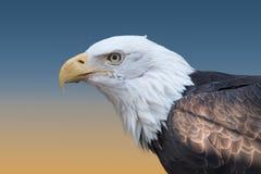 Bald Eagle Closeup Royalty Free Stock Images