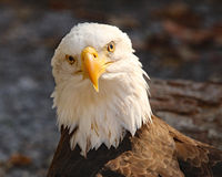 Bald Eagle closeup. Bald Eagle looking forward with brilliant yellow eyes and beak Stock Images