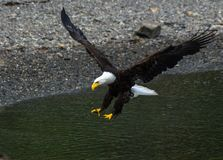 A Bald Eagle Coming in for a Landing royalty free stock photography