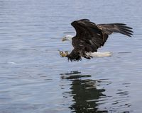 Bald Eagle about to grab a herring out of the Bay. Bald Eagle coming in for a perfect fish-grab.  See the piece of herring that he has zeroed in on stock photography