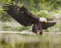 Bald Eagle coming in for a smooth landing Royalty Free Stock Images