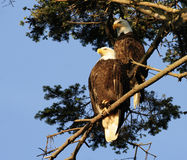 Bald eagle couple. A couple of bald eagles are guarding their nest royalty free stock images