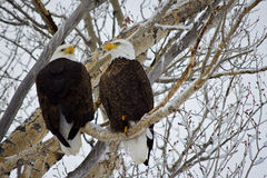 Bald Eagle Couple. Background of tree with snow. Male and female eagle perched on branch next to each other Stock Images