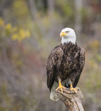 Bald Eagle CRC Royalty Free Stock Images