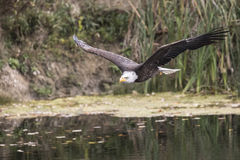 Bald Eagle CRC Stock Images