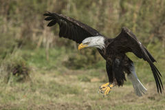 Bald Eagle CRC. Sammy the American Bald Eagle at the Canadian Raptor Conservancy Vittoria Ontario Canada Stock Photo