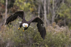 Bald Eagle CRC. Sammy the American Bald Eagle powerfully swooping over the pond at the Canadian Raptor Conservancy Stock Photo