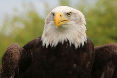 Bald Eagle, Crystal Palace FC mascot. Kayla, the Bald Eagle, Mascot of Crystal Palace Football Club Stock Images