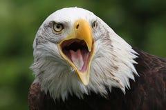 Bald Eagle, Crystal Palace FC mascot. Kayla, the Bald Eagle, Mascot of Crystal Palace Football Club Royalty Free Stock Photography