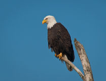 Bald Eagle on Dead Tree Branch. Bald Eagle on a dead tree branch in Bellingham, WA classic profile view, copy space available. Clean blue background Royalty Free Stock Photos