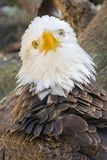 Bald Eagle In Deep Thoughts. Closeup of a Bald eagle appearing to be in deep thoughts, with feathers ruffled Stock Photography