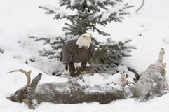 Bald eagle on deer carcass Royalty Free Stock Photo